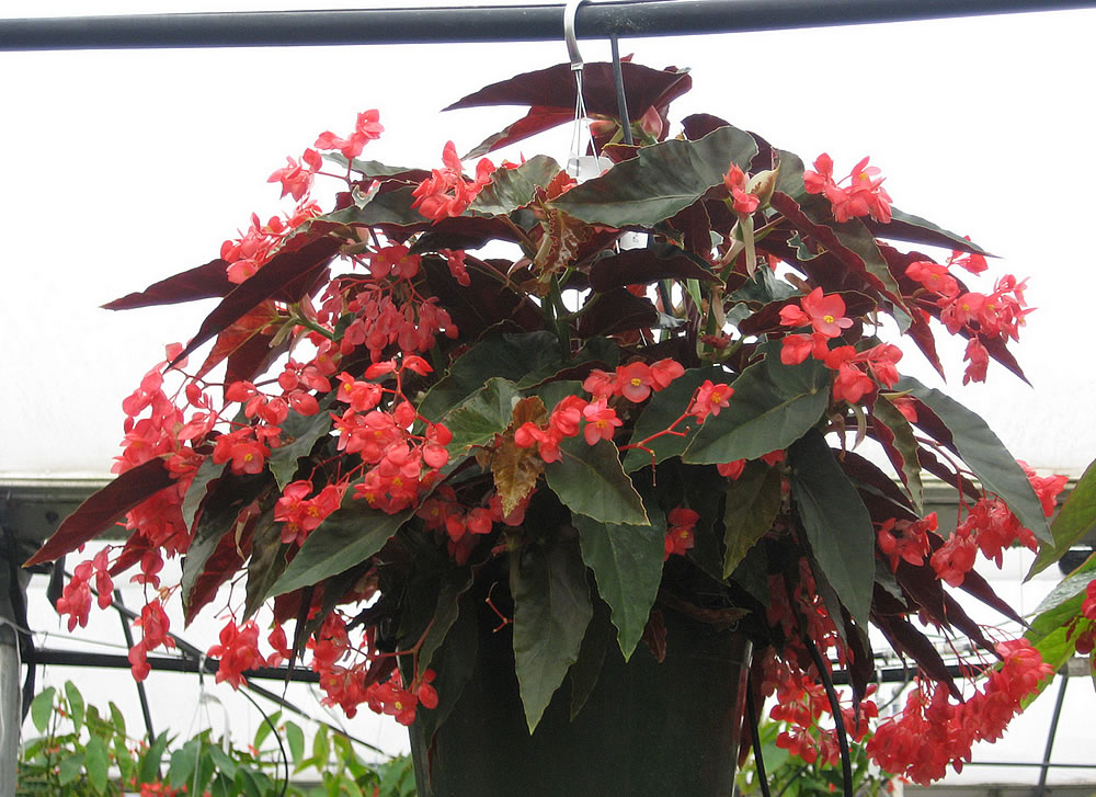 Begonia Coccinea Torch