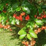Begonia coccinea - hanging basket