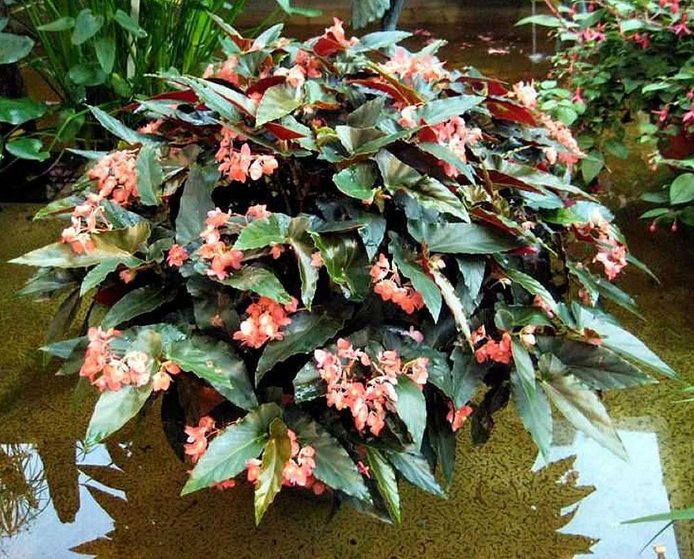 Plants & Flowers » Begonia coccinea