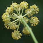 Levisticum officinale - flower