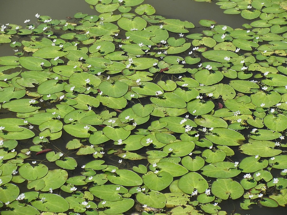 Plants flowers limnanthemum lacunosum for Waterside plants