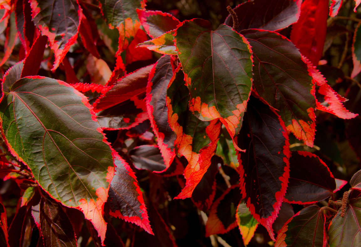 Watch likewise Acalypha Wilkesiana Godseffiana likewise Leopard Lily in addition 92 3 New Cedar Hill Rhododendrons furthermore Acalypha Wilkesiana Godseffiana. on growing orchids indoors