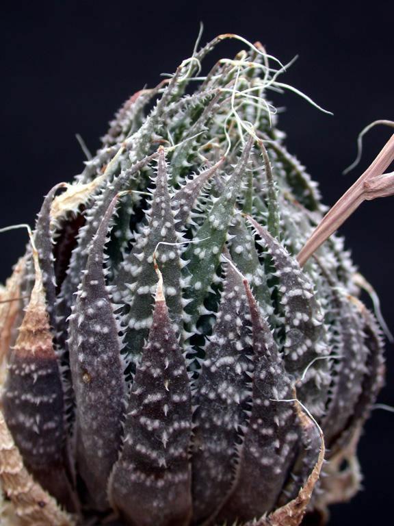 Plants Amp Flowers 187 Bearded Aloe