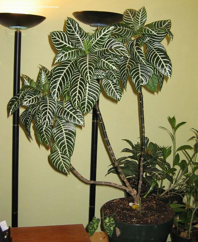 Plants & Flowers » Aphelandra leopoldii on