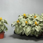 Aphelandra squarrosa Dania