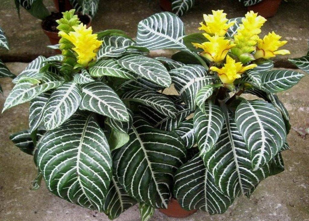 Plants & Flowers » Aphelandra squarrosa Dania