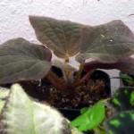 Bertolonia marmorata aenea