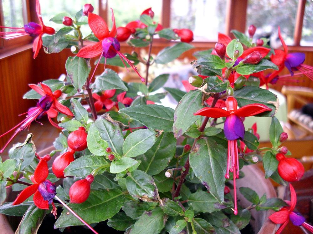 Plants Amp Flowers 187 Fuchsia Magellanica