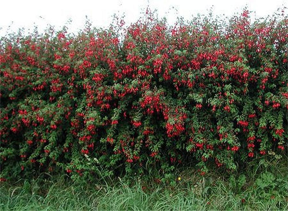 Plants flowers hardy fuchsia for Hardy flowering trees