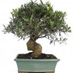 <i>Olea europaea</i> bonsai