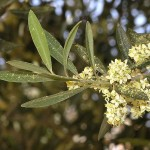 <i>Olea europaea</i> flowers