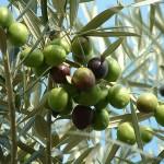 <i>Olea europaea</i> fruit