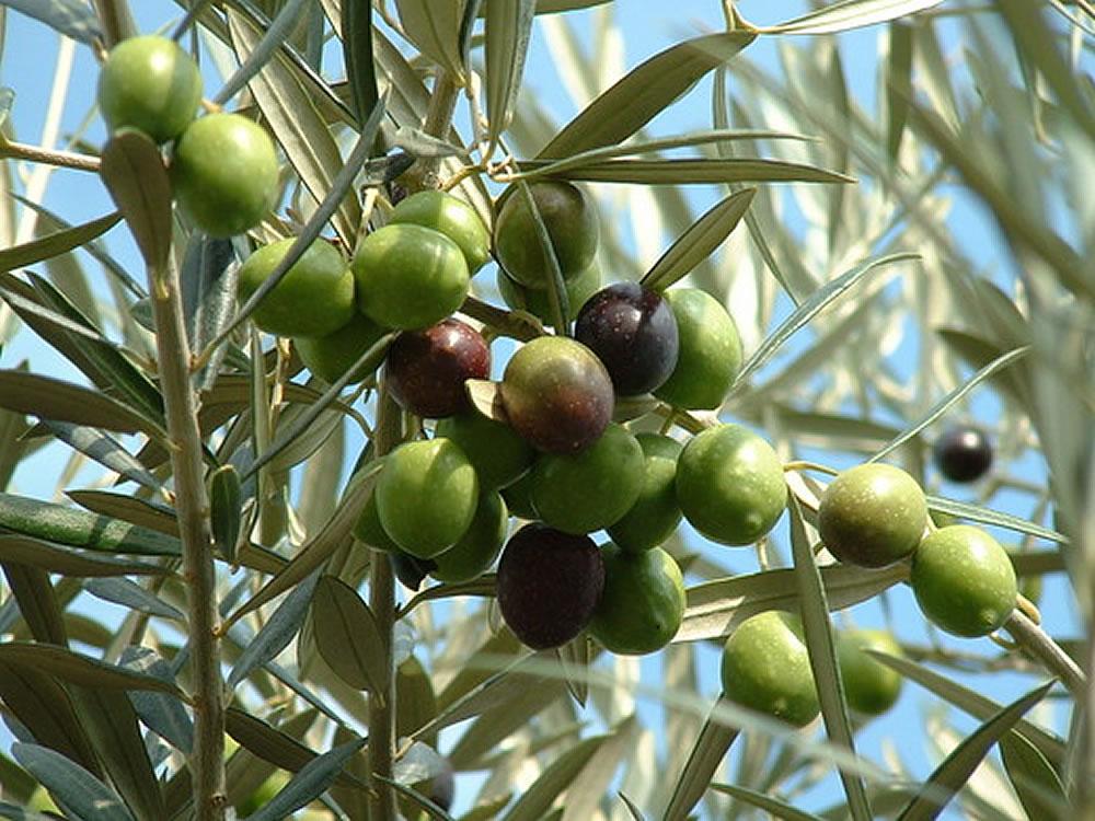 I Olea Europaea Fruit