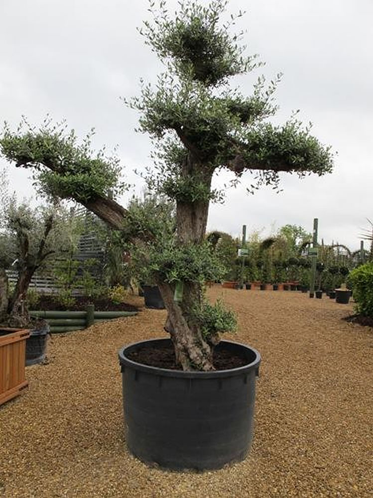Plants flowers olive tree for Fertilizing olive trees in pots