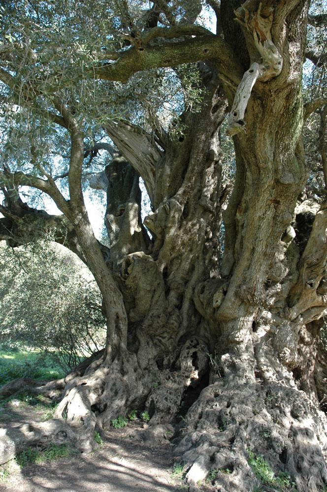 Plants Amp Flowers 187 Common European Olive