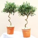 <i>Olea europaea</i>