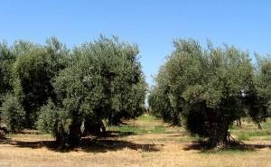 Olea europaea orchard