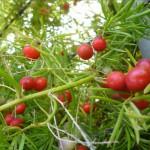 Asparagus densiflorus berries