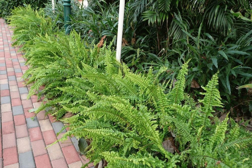 Plants flowers wild boston fern - Nephrolepis exaltata ...