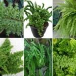 Nephrolepis exaltata varieties
