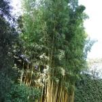 Phyllostachys aurea