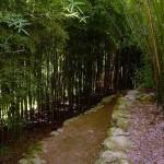 Phyllostachys aurea grove