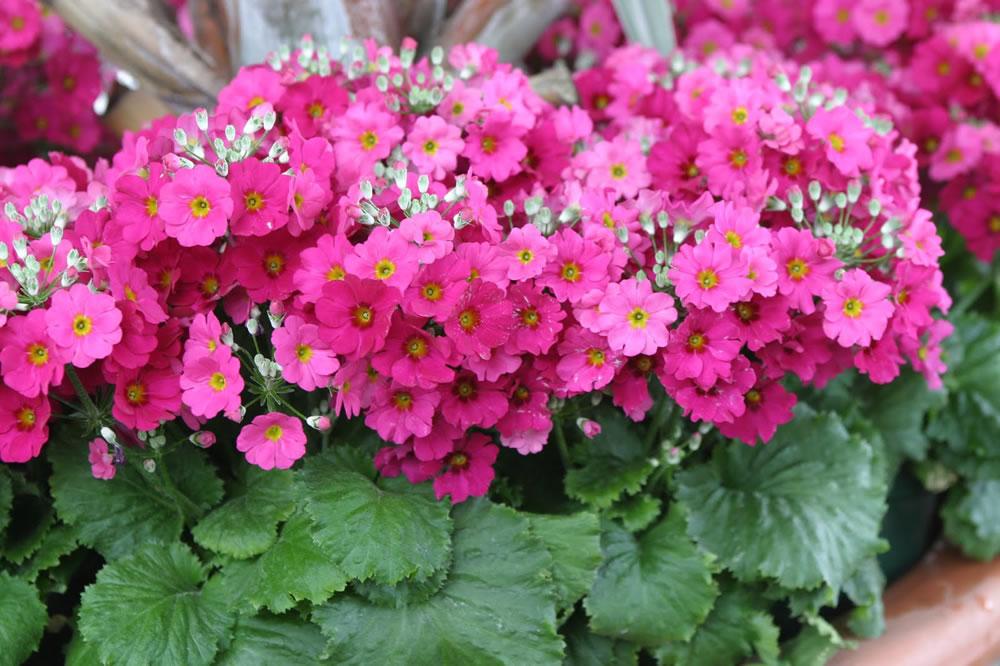 Plants amp flowers 187 fairy primrose