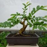 Psidium guajava bonsai