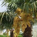 Trachycarpus fortunei inflorescence