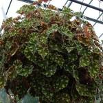 Begonia boweri Tiger