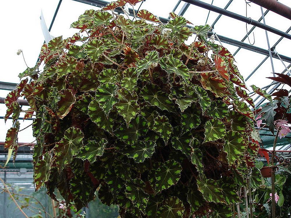 Plants Flowers Eyelash Begonia
