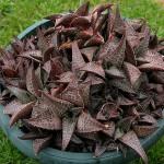 Haworthia venosa subsp. tessellata clusters