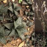 Haworthia venosa subsp. tessellata flowers