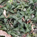 Haworthia venosa subsp. tessellata