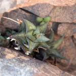 Haworthia venosa subsp. tessellata - natural habitat