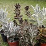 Kalanchoe tomentosa - varieties