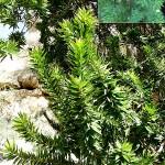 Myrtus communis Boetica