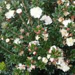 Myrtus communis microphylla