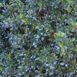 Myrtus communis - berries
