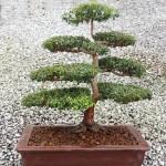 Myrtus communis - bonsai