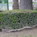 Myrtus communis trimmed