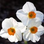 Narcissus tazetta Geranium
