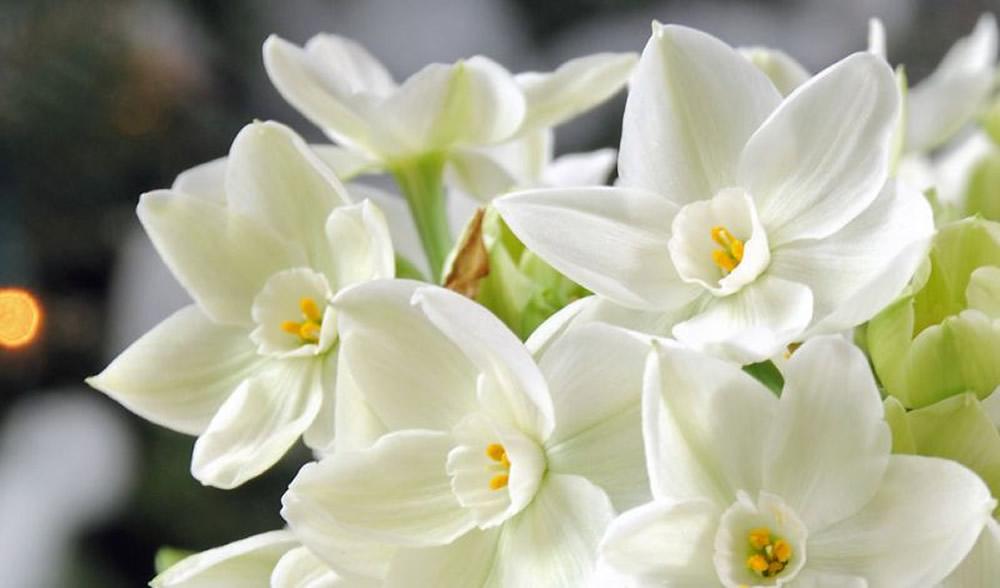 Plants flowers french daffodil narcissus tazetta flowers narcissus tazetta cheerfulness narcissus tazetta cragford narcissus tazetta geranium narcissus tazetta paperwhite mightylinksfo