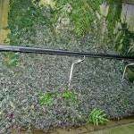 Tradescantia zebrina