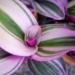 Tradescantia zebrina quadricolor