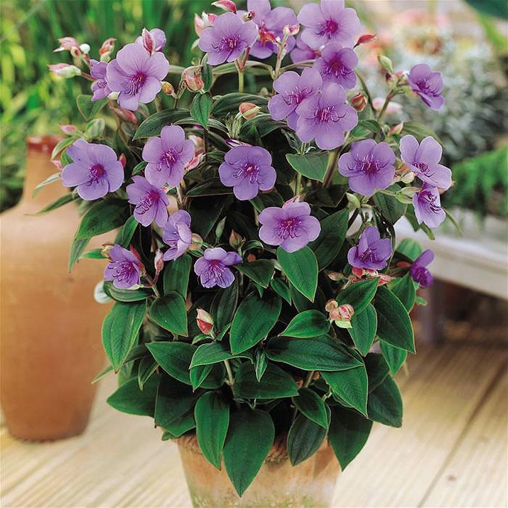 Plants Flowers Tibouchina Maudhiana