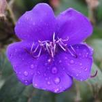 Tibouchina urvilleana - Flower
