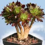 Aeonium arboreum var. atropurpureum forma cristata