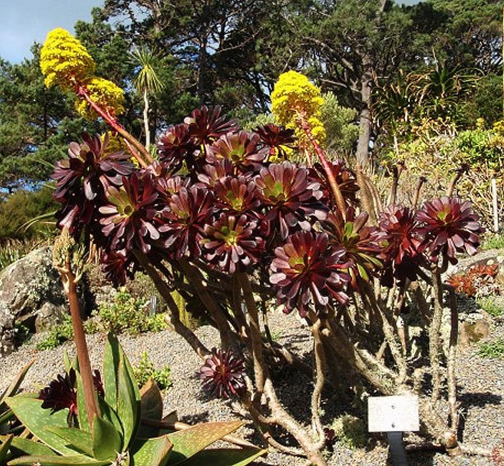 plants  u0026 flowers  u00bb aeonium arboreum