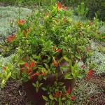 Aeschynanthus speciosus